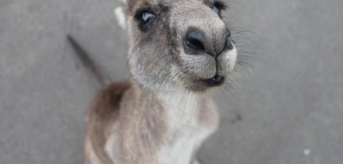 Känguru darf nicht zu Hause gehalten werden